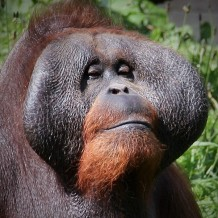 Orangutan, Dublin Zoo. Copyright Maria Delaney