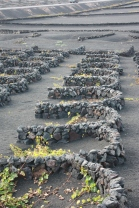 Vineyard built on lava, Lanzarote. Copyright Maria Delaney