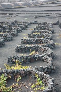 Vineyard built on lava, Lanzarote. Copyright Maria Delaney