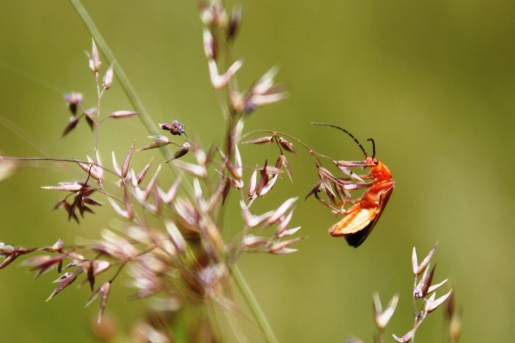 Beetle in Meadow, UK. Copyright Maria Delaney
